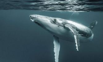 Землю франца-йосифа вперше відвідали горбаті кити