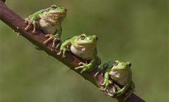Земноводні жаби