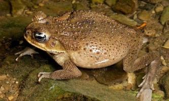 Жаба ага. Фото аги, зміст жаби