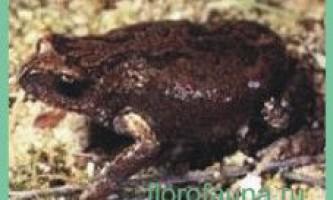 Жабабіброна помилкова / pseudophryne bibroni