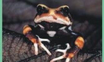 Жабажівородящая / nectophrynoides occidentalis