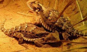 Жабовидних ящірки