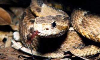 Жарараки - небезпечна змія - джерело лікарського отрути