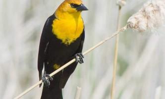 Жовтоголовий трупіал - птах в чорній масці