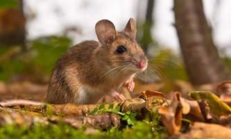 Желтогорлая миша - гризун з довгим хвостом