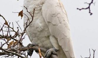 Желтохохлий какаду - папуга родом з австралії