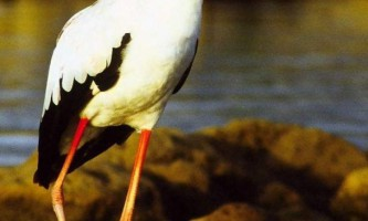 Желтоклювая лелека або африканський клювача - граціозна птах