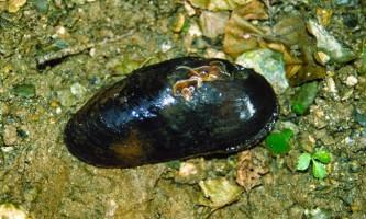 Жемчужніци - підводний «скарбниця» землі