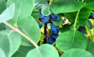 Жимолость їстівна вирощування і догляд