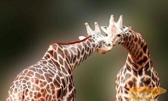 Жираф - найвища тварина на землі