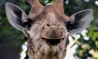 Жирафи спілкуються один з одним, видаючи ночами гудуть звуки