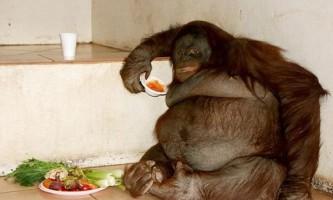 Жирний орангутанг з великобританії схуд після успішної дієти