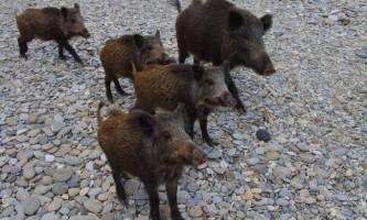 Житель сицилії був пошматований дикими кабанами, намагаючись захистити своїх собак