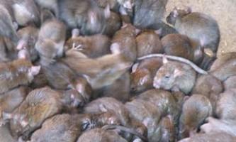 Жителям каліфорнії роздадуть тисячу щурів