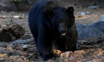 Мешканка монтани відбилася від ведмедя кабачком