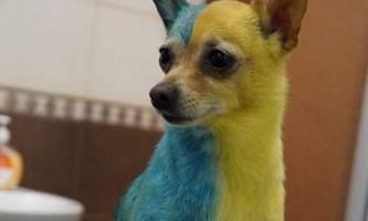 Мешканка україни пофарбувала собаку в кольори національного прапора