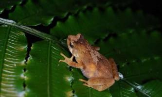 Живородна жаба