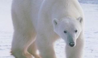 Тварина білий ведмідь