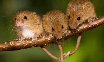 Тварина мишка малятко