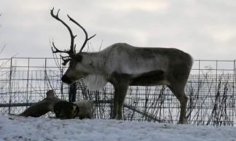 Тварина північний олень: опис, відео та фото