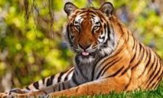 Тварина тигр