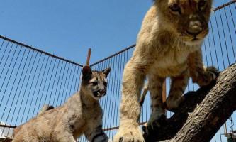 Живучи в приморському зоопарку, пума і левеня стали друзями