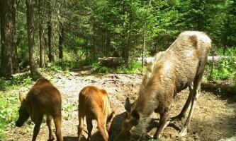Життя красноярських лосів знята на камеру