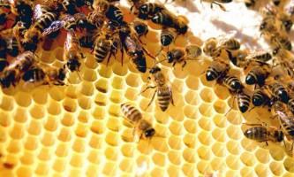 Життя бджіл: у чому секрет суворої ієрархії?