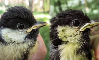 Життя в місті прискорює старіння птахів