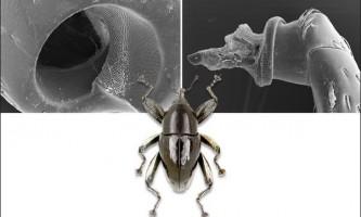 Жуки-довгоносики `` винайшли `` гвинтове з`єднання