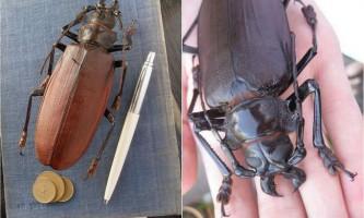Жуки-дроворуби або жуки-вусачі
