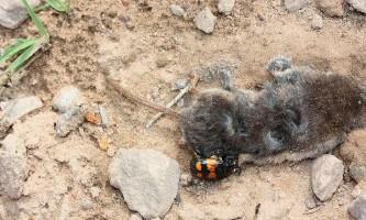 Жуки-могильники, піклуючись про потомство, знезаражують знайдену падаль