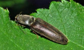Жуки-ковалики - комахи-акробати