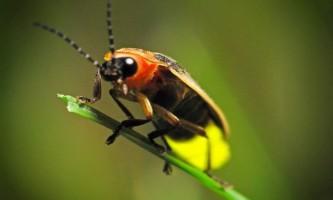 Жуки-світляки - живі ліхтарики