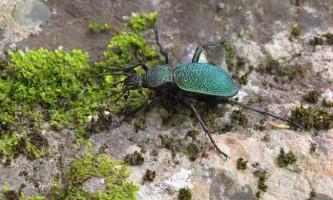 Жужелиця: світ комах криму