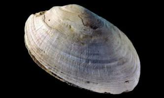 Зигзаги на прісноводної раковині виявилися найдавнішим твором мистецтва