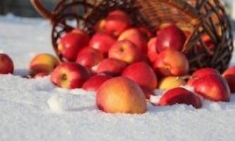Зимові сорти яблук: антонівка і схід