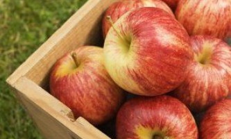 Зимові сорти яблунь для підмосков`я