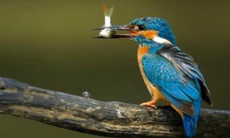 Зимородок встановив рекорд міграції