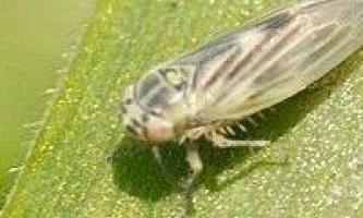 Злакові цикадки
