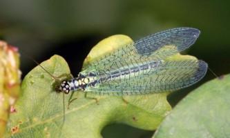 Златоглазки - комахи, що поїдають шкідників