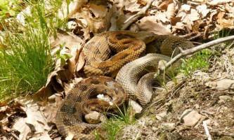 Змії виявилися прихильниками родинних взаємин