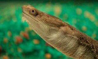 Змеіношеіе, або змеиношейние черепахи (лат. Chelidae)