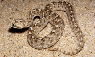 Змія ефа. Фото, відео