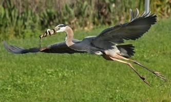 Змія обвилася навколо дзьоба чаплі, не бажаючи стати обідом для птиці