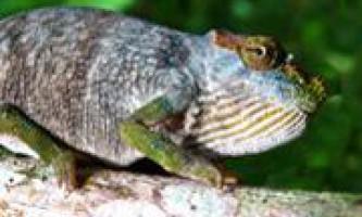 Змія піднесла вченим новий вид хамелеона