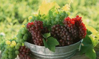 Знайомимося зі столовими сортами винограду