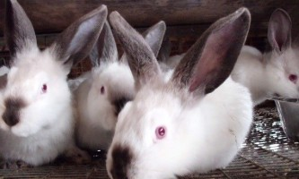 Знайомтеся, каліфорнійські кролики