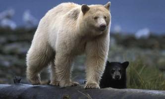 Знайомтеся примарний ведмідь. Рідкісні фото!