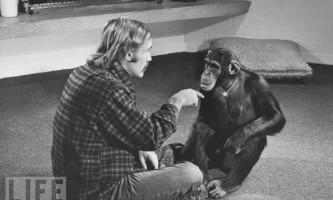 Знаменита шимпанзе люси темерлін (lucy temerlin)